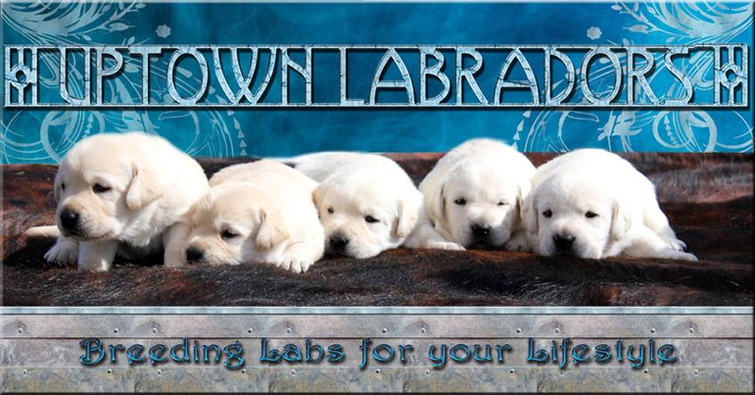 Uptown Labrador Retrievers