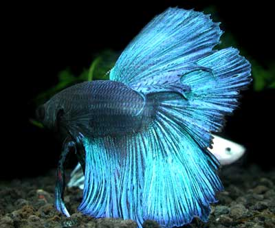 Siamese Fighting Fish  : siamese fighting fish the siamese fighting fish is easily recognised