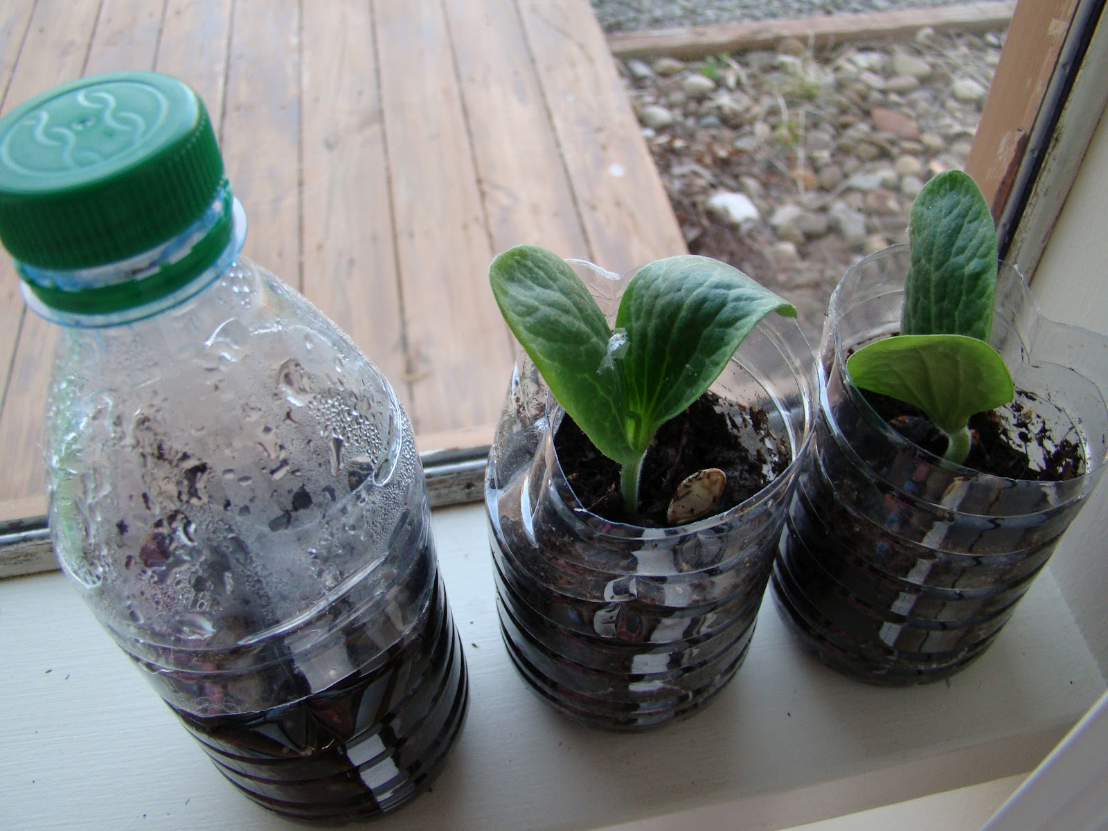 Summer squash in recycled water bottles