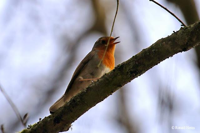 Vögel Singvögel Rotkehlchen