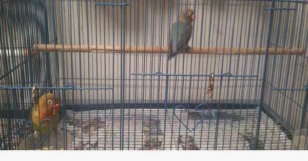 Lovebird Gresik Forum Jual Beli Gresik Jawa Timur