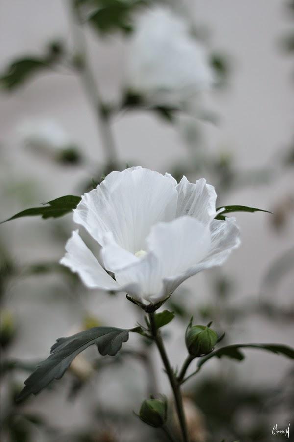 rose trémière blanche ile de ré