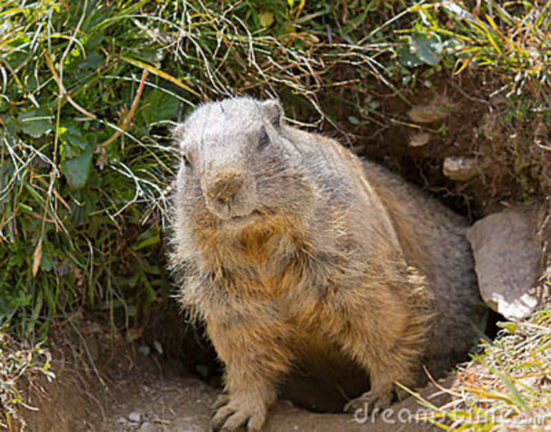 Groundhog Tunnels Its tunnel. groundhogs are
