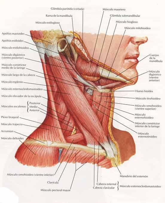 parte posterior de la garganta - ratsercom