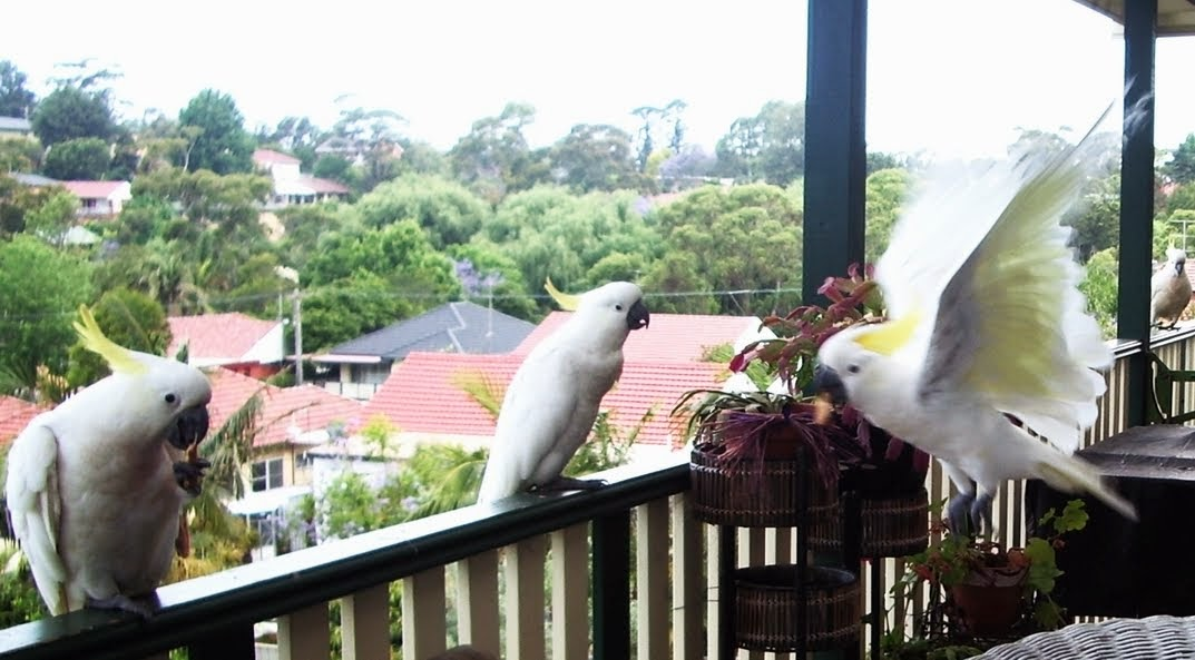 cockatoos in my deck - cacatuas en mi deck
