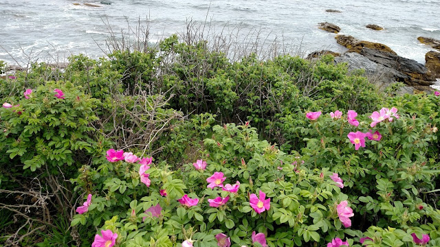 pink flowers of Newport Cliff Walk in June