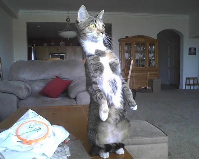 Funny cat pictures part 14, standing cat