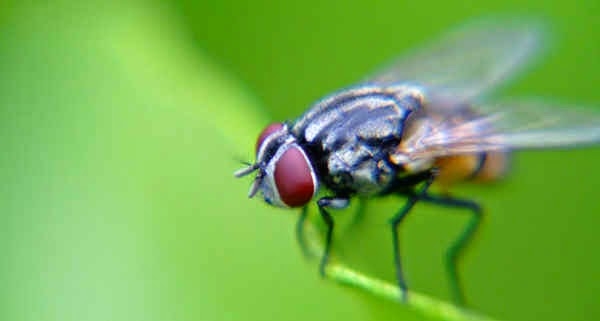 Cara Ampuh Mengusir Lalat