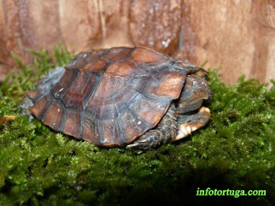 Keeled box turtle