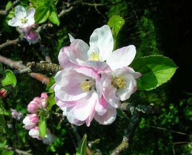 http://www.statesymbolsusa.org/Michigan/flower_appleblossom.html