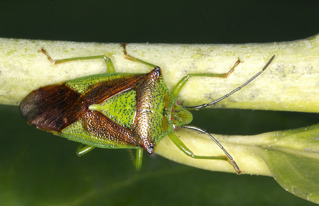 Hawthorn Shield Bug, Acanthosoma haemorrhoidale.  One Tree Hill, 27 April 2012.