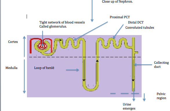Lydia s biology blog 2 70 nephron structure