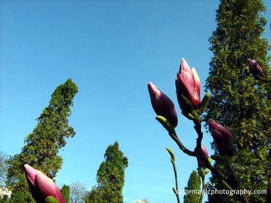 Saucer magnolia bud