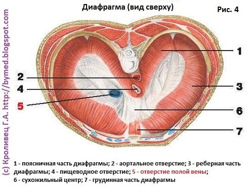 Диафрагма. Нижняя полая вена