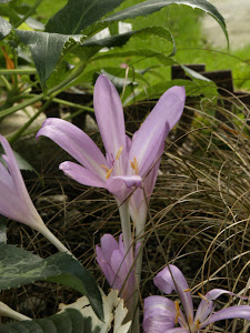 Colchicum byzantinum