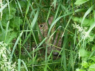 Rabbit hiding in grass