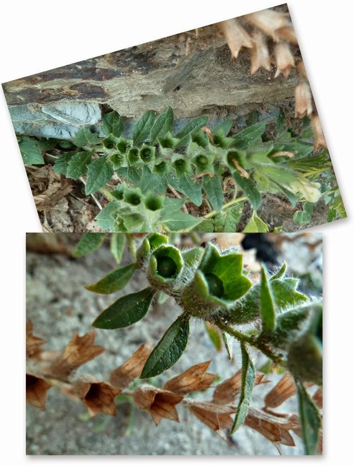 Es importante saber que, al ser toda la planta rica en dichos alcaloides tóxicos (tanto la raíz como las hojas, tallos, flores y frutos), todo tratamiento