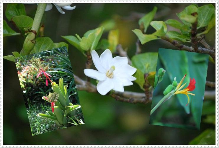Regalo de Galle. Flora de Tenerife.