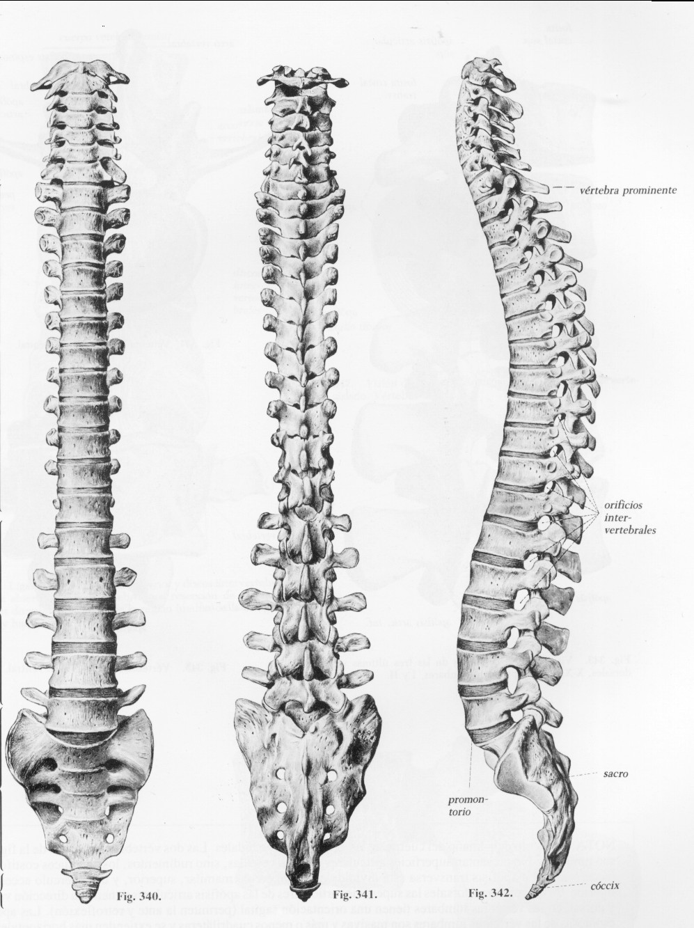 Contemporáneo Diagrama De Columna Vertebral Humana Ornamento ...
