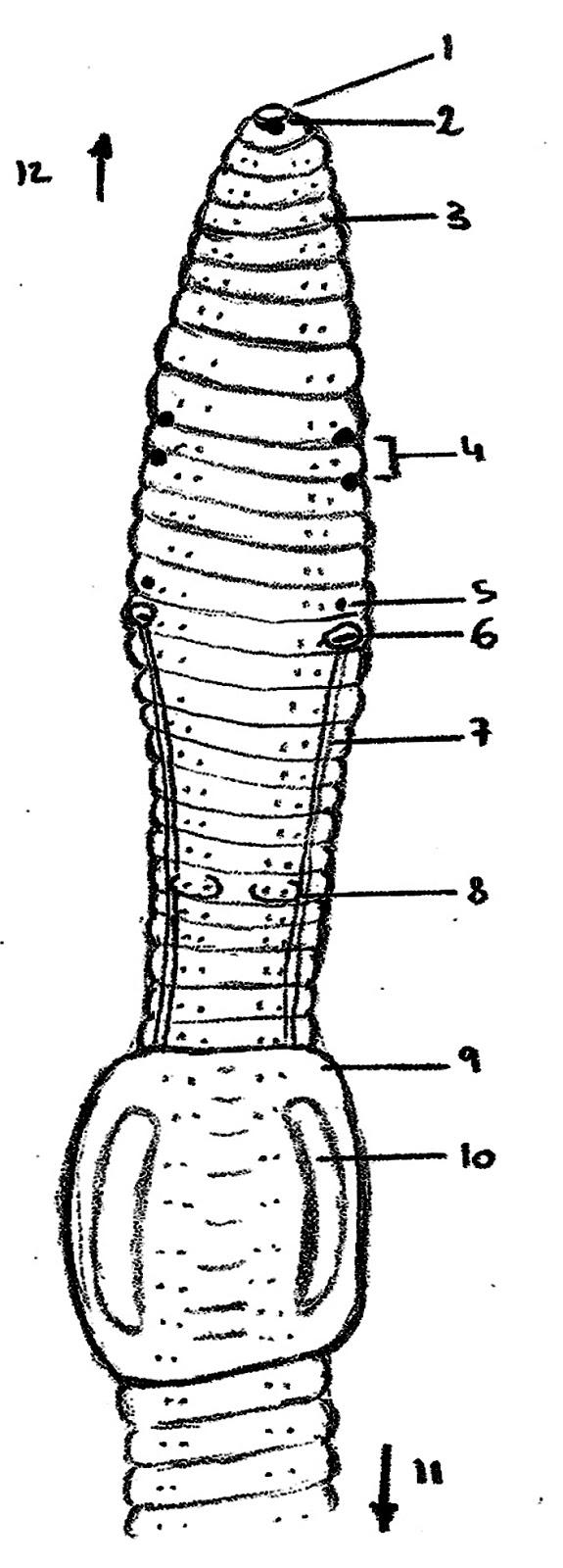 Único Anatomía Interna De Un Diagrama De Lombriz De Tierra Imágenes ...