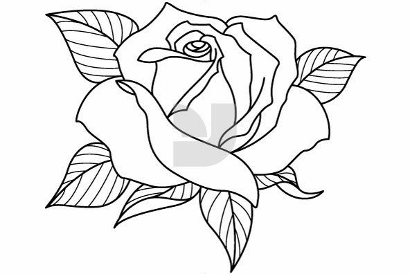 Line Drawing Of Rose Plant : Rose drawing flowers