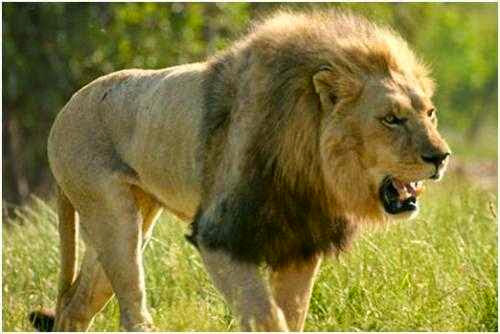 Gambar Singa - Hewan Buas
