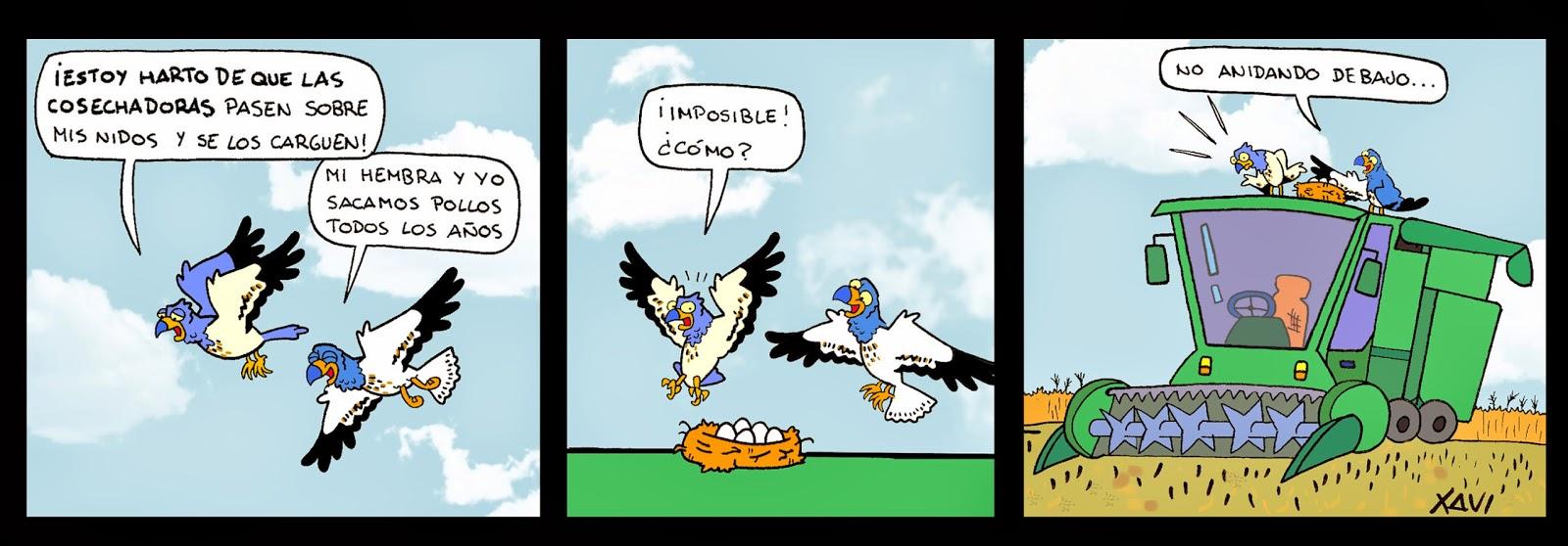 Aguilucho cenizo tira cómica