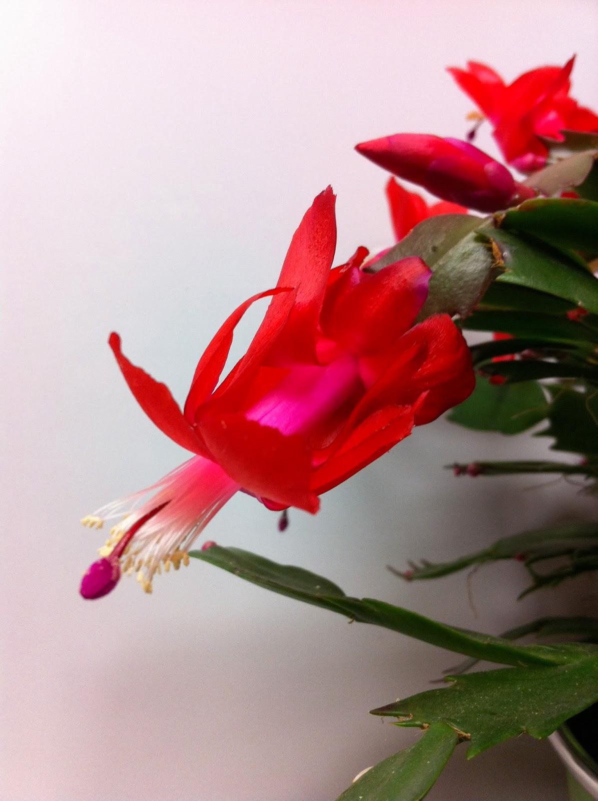 fleuriste isabelle feuvrier: le cactus de noël ou schlumbergera ou