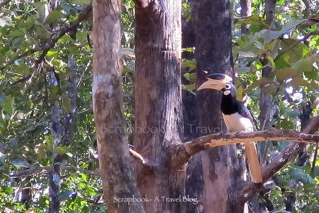 Malabar Pied Hornbill from Dandeli Wildlife Sanctuary
