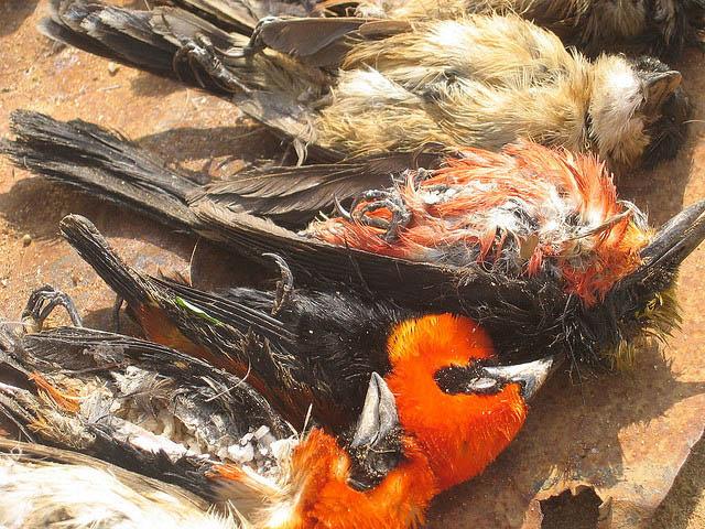 Voodoo fetish market birds