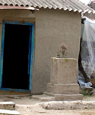 tulsi plant in village
