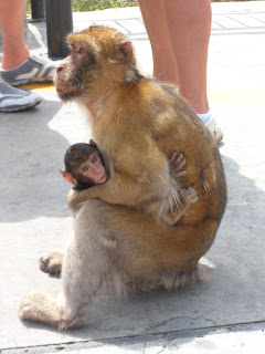 Mum and baby barbary macaques in Gibraltar