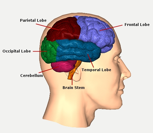 the function and location of the different lobes of the brain There is no other part of the brain where lesions can 1990) the frontal lobes are involved in motor function, problem injury due to their location at the.