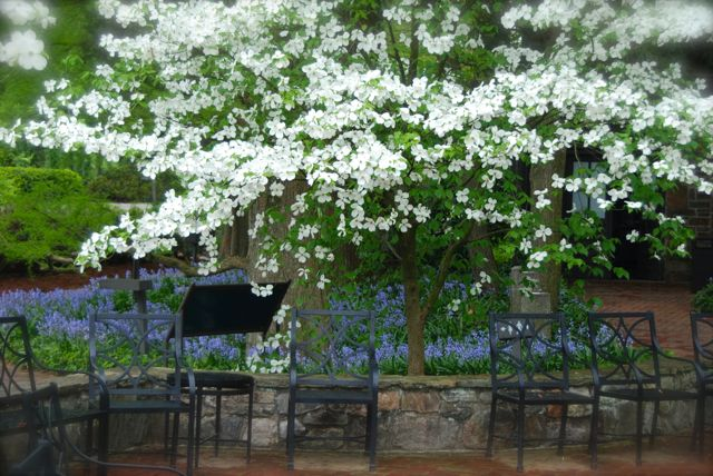 Simple but effective near a seating area: White Cornus florida under-planted with Spanish bluebells (Hyacinthoides hispanica).