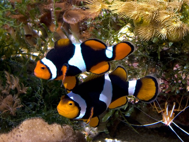 Ocean Aquarium: Clown Fish