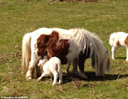 Shetland Pony Adopts Lamb