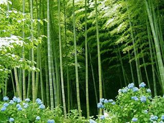 Tanaman Bambu dan Kelebihannya