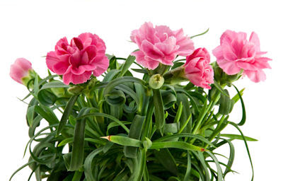Arreglo floral de claveles color rosa - Rose Carnation