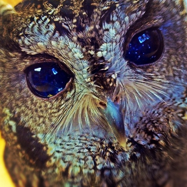 White Wolf Zeus The Blind Rescue Owl Has Galaxies In