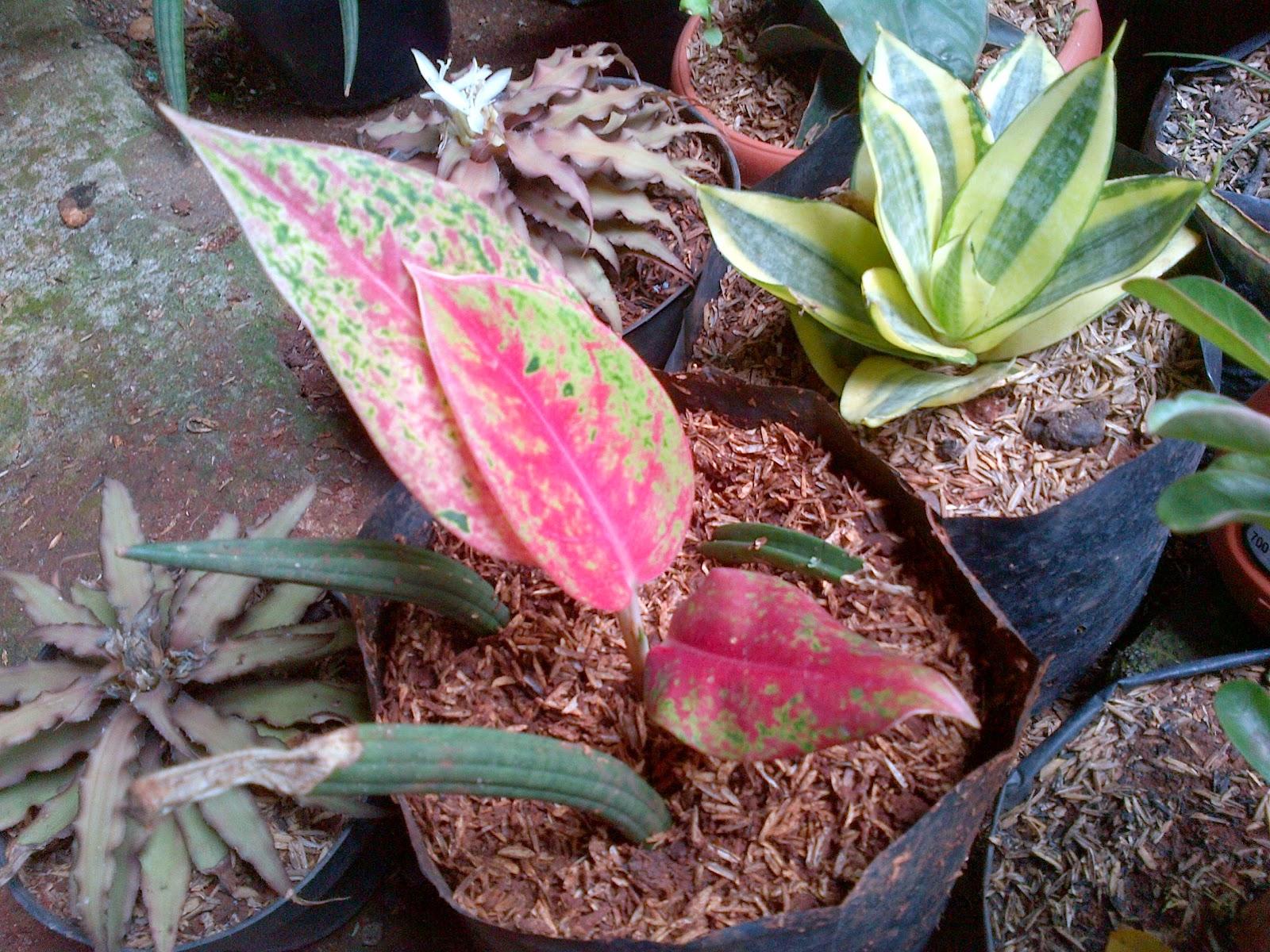 Jual pohon aglaoenema | solusi pertamanan | suplier tanaman dan rumput | jasa tanam rumput dan pembuatan taman