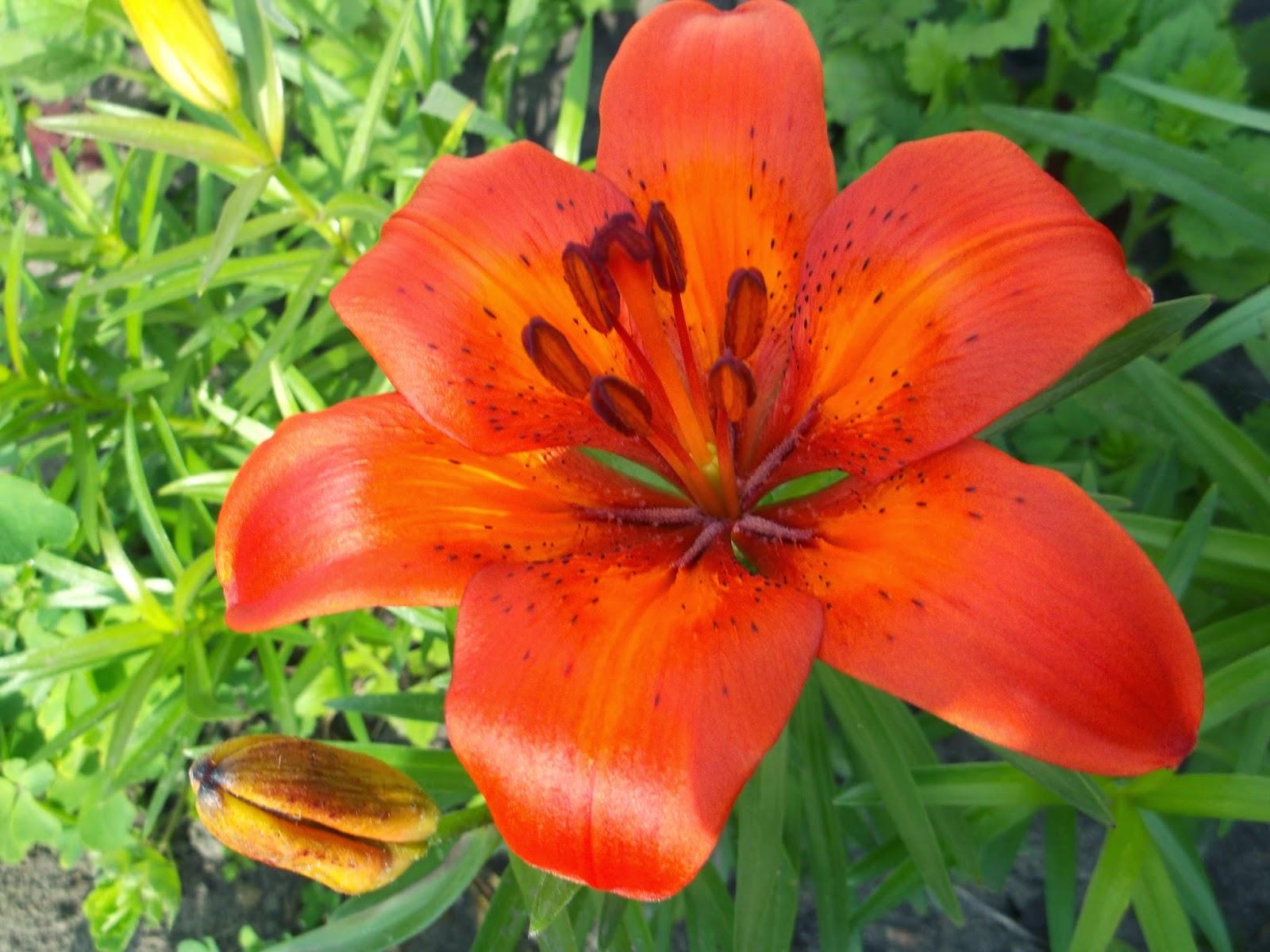 Цветы лилии  и названия