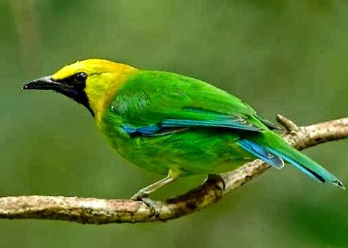 Burung Cucak Rante Jantan Betina Harga 2015