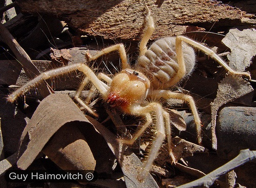 Largest Camel Spider On Record Camel spiders often overeat so