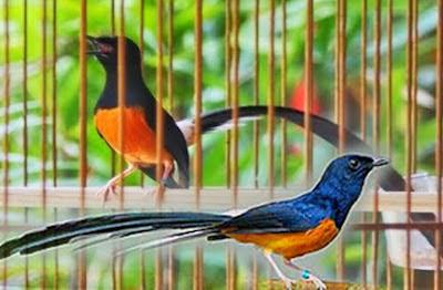 Foto Burung Murai Batu Jantan Betina Harga Terbaru Nyaring