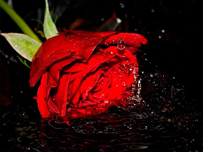 Gambar Setangkai Bunga Mawar Merah Download Gratis Gambar