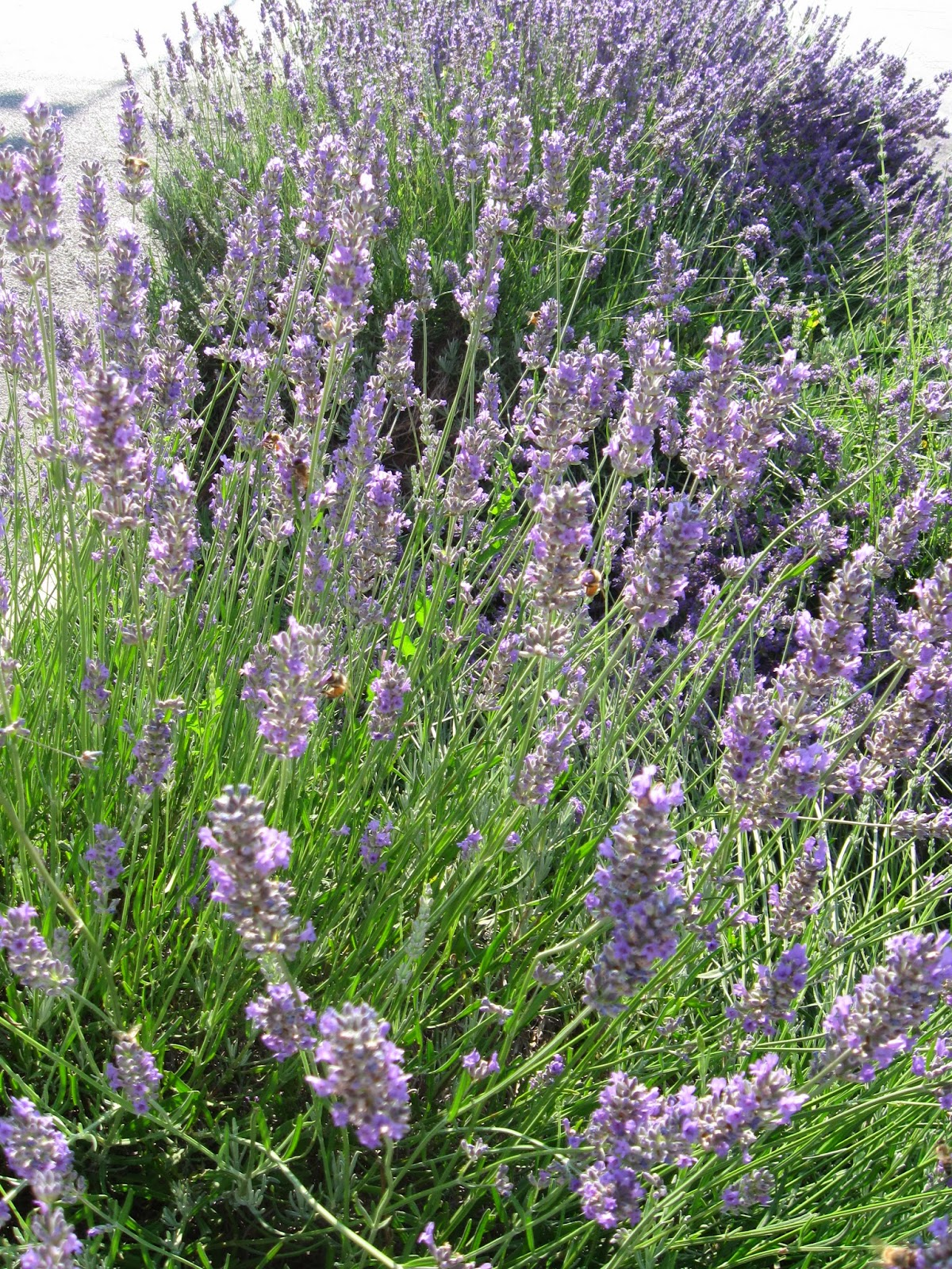 La granja de adriana lavanda lavandula angustifolia - Planta lavanda cuidados ...