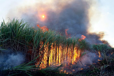 Até 2017 o metódo de queimada da cana de açucar deverá ser banido em todo o estado de São paulo