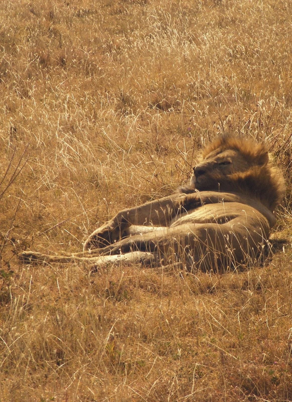 Lion, safari en Tanzanie, Afrique de l'est
