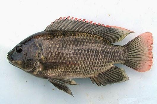 Cara Mudah Budidaya Ikan Mujair