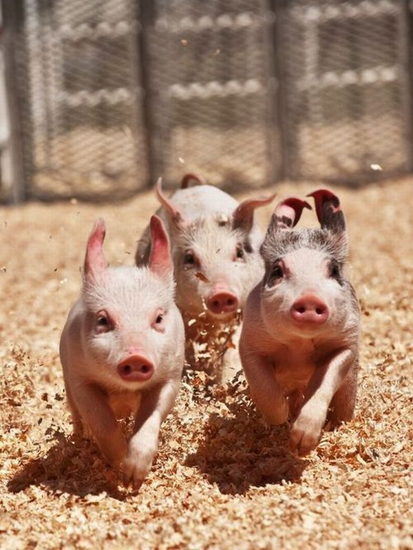 three little pigs, funny animal pictures of the week